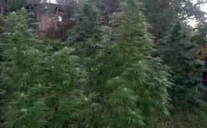 Vaslui_cannabis_1